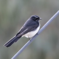 Rhipidura leucophrys (Willie Wagtail) at Illilanga & Baroona - 22 Mar 2019 by Illilanga