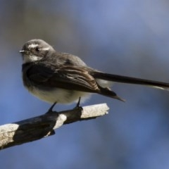 Rhipidura fuliginosa (Grey Fantail) at Illilanga & Baroona - 1 Nov 2014 by Illilanga