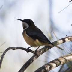 Acanthorhynchus tenuirostris (Eastern Spinebill) at Illilanga & Baroona - 28 Apr 2019 by Illilanga
