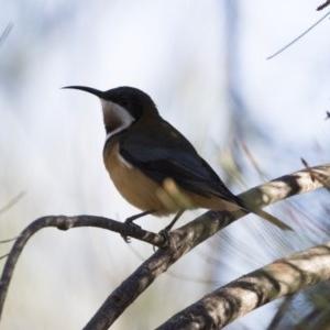 Acanthorhynchus tenuirostris at Illilanga & Baroona - 29 Apr 2019