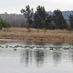 Malacorhynchus membranaceus at Jerrabomberra Wetlands - 26 Jul 2019