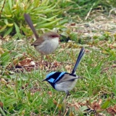 Malurus cyaneus (Superb Fairywren) at Jerrabomberra Wetlands - 26 Jul 2019 by RodDeb