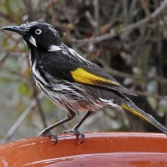 Phylidonyris novaehollandiae (New Holland Honeyeater) at Brogo, NSW - 27 Jul 2019 by MaxCampbell