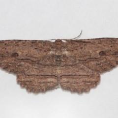 Ectropis excursaria (Common Bark Moth) at Evatt, ACT - 27 Jul 2019 by TimL