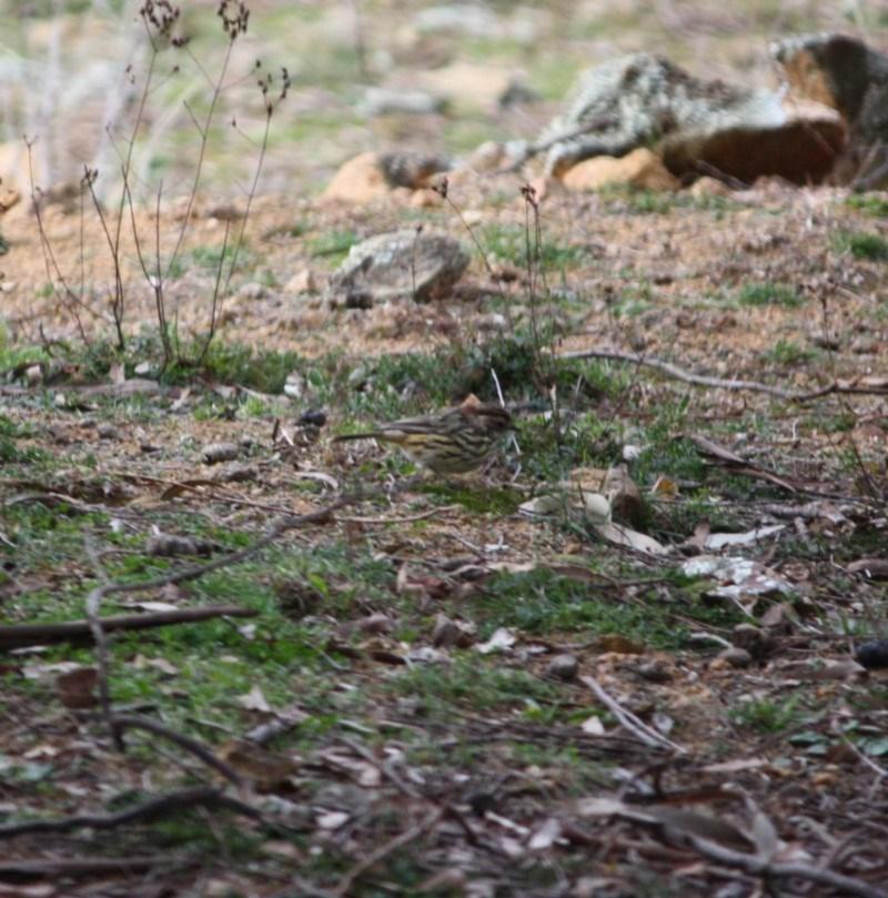 Pyrrholaemus sagittatus at Red Hill Nature Reserve - 27 Jul 2019