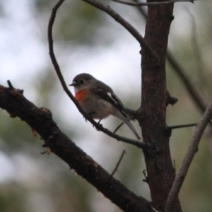 Petroica boodang at Red Hill Nature Reserve - 27 Jul 2019