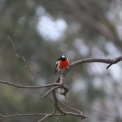 Petroica boodang (Scarlet Robin) at Red Hill Nature Reserve - 27 Jul 2019 by LisaH