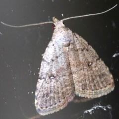 Alapadna pauropis (Alapadna pauropis) at Rosedale, NSW - 15 Feb 2019 by jbromilow50