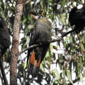 Calyptorhynchus lathami at Mogo State Forest - 27 Jul 2019