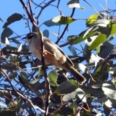 Melithreptus brevirostris (Brown-headed Honeyeater) at Mount Ainslie - 28 Jul 2019 by RodDeb