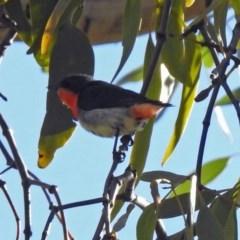 Dicaeum hirundinaceum (Mistletoebird) at Majura, ACT - 28 Jul 2019 by RodDeb
