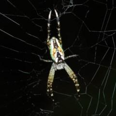 Plebs bradleyi (Enamelled Spider) at Evatt, ACT - 5 Dec 2017 by TimL