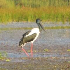 Ephippiorhynchus asiaticus (Black-necked Stork) at Lake MacDonald, QLD - 20 Jan 2019 by DonnaTomkinson