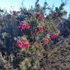 Grevillea alpina (Mountain Grevillea / Cat's Claws Grevillea) at Rugosa at Yass River - 16 Jul 2019 by SenexRugosus