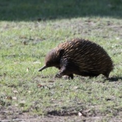 Tachyglossus aculeatus (Short-beaked Echidna) at Penrose - 30 Oct 2018 by NigeHartley