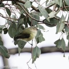 Smicrornis brevirostris (Weebill) at Red Hill Nature Reserve - 19 Jul 2019 by BIrdsinCanberra
