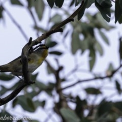 Pardalotus striatus (Striated Pardalote) at Red Hill Nature Reserve - 19 Jul 2019 by BIrdsinCanberra