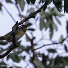 Pardalotus striatus (Striated Pardalote) at Red Hill Nature Reserve - 19 Jul 2019 by BIrdsinCanberra
