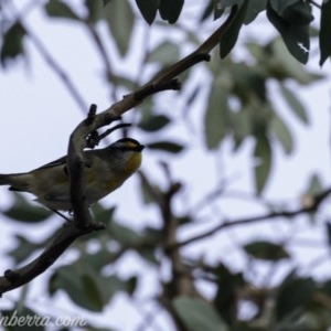 Pardalotus striatus at Red Hill Nature Reserve - 20 Jul 2019