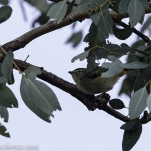 Pardalotus punctatus at Red Hill Nature Reserve - 20 Jul 2019