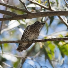 Chalcites lucidus (Shining Bronze-Cuckoo) at Penrose - 10 Mar 2018 by NigeHartley