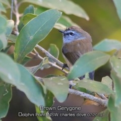 Gerygone mouki (Brown Gerygone) at Wairo Beach and Dolphin Point - 23 Jul 2019 by CharlesDove