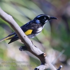 Phylidonyris novaehollandiae (New Holland Honeyeater) at Wairo Beach and Dolphin Point - 23 Jul 2019 by Charles Dove