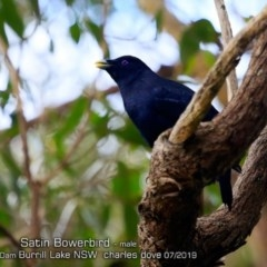 Ptilonorhynchus violaceus (Satin Bowerbird) at Wairo Beach and Dolphin Point - 27 Jul 2019 by Charles Dove
