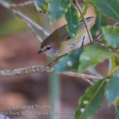Acanthiza lineata (Striated Thornbill) at Wairo Beach and Dolphin Point - 23 Jul 2019 by Charles Dove