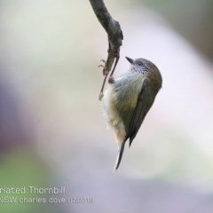 Acanthiza lineata (Striated Thornbill) at Conjola Bushcare - 23 Jul 2019 by Charles Dove
