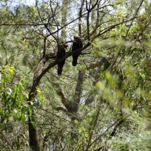 Calyptorhynchus lathami at suppressed - 20 Aug 2020