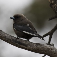 Artamus cyanopterus (Dusky Woodswallow) at Illilanga & Baroona - 27 Jan 2018 by Illilanga
