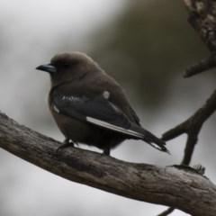 Artamus cyanopterus cyanopterus (Dusky Woodswallow) at Michelago, NSW - 27 Jan 2018 by Illilanga