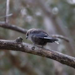 Artamus cyanopterus cyanopterus at Michelago, NSW - 28 Jan 2018