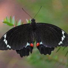 Papilio aegeus (Orchard Swallowtail) at ANBG - 26 Dec 2017 by TimL