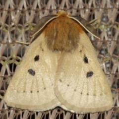 Anthela ocellata (Eyespot anthelid moth) at Evatt, ACT - 29 Jul 2019 by TimL