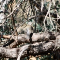 Colluricincla harmonica (Grey Shrike-thrush) at Red Hill Nature Reserve - 31 Jul 2019 by LisaH