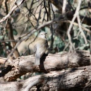 Colluricincla harmonica at Red Hill Nature Reserve - 31 Jul 2019