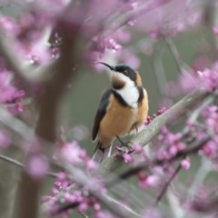 Acanthorhynchus tenuirostris (Eastern Spinebill) at Penrose - 7 Oct 2018 by NigeHartley