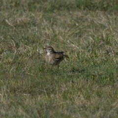 Anthus novaeseelandiae (Australasian Pipit) at Penrose - 22 Sep 2013 by NigeHartley