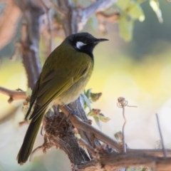 Nesoptilotis leucotis (White-eared Honeyeater) at Penrose - 30 Sep 2018 by NigeHartley