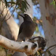 Strepera versicolor (Grey Currawong) at Penrose - 29 Jun 2018 by NigeHartley
