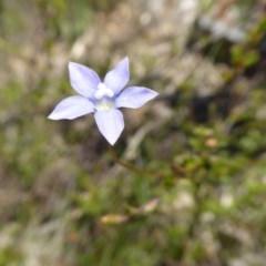 Wahlenbergia sp. (Bluebell) at Rugosa at Yass River - 15 Nov 2016 by SenexRugosus