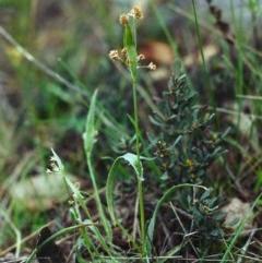 Luzula flaccida (Pale Woodrush) at Conder, ACT - 26 Sep 2000 by michaelb
