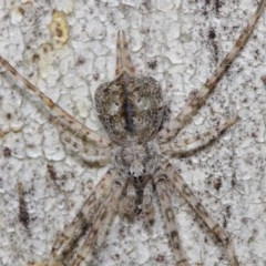 Tamopsis sp. (genus) (Two-tailed spider) at ANBG - 30 Jul 2019 by TimL