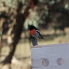 Petroica boodang (Scarlet Robin) at Mount Majura - 20 Jul 2019 by Lisa.Jok