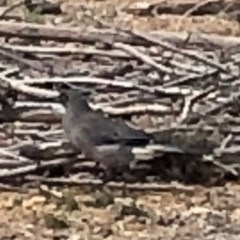 Strepera versicolor (Grey Currawong) at Mount Majura - 5 Jul 2019 by Lisa.Jok