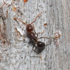 Notoncus gilberti (Smooth Epaulet Ant) at ANBG - 23 Jul 2019 by TimL