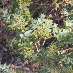 Acacia cultriformis (Knife Leaf Wattle) at Bruce Ridge - 2 Aug 2019 by KumikoCallaway