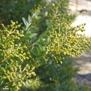 Acacia cultriformis at Bruce Ridge - 2 Aug 2019